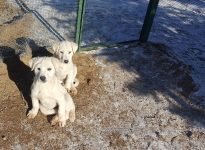 Köpek Gençlik Hastalığı  (Köpeklerin Distemper Virus İnfeksiyonu)