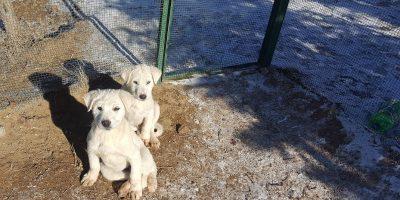 KÖPEK GENÇLİK HASTALIĞI  (Köpeklerin Distemper Virus İnfeksiyonu)