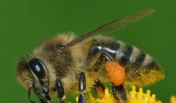 Mantar öldürücü ilaçlar DNA hasarı da dahil olmak üzere bal arılarının sağlığını ciddi tehdit ediyor